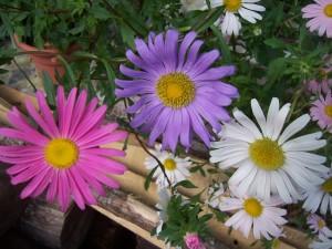 fleur reine-marguerites